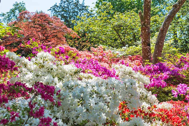 Pink, white, magenta, and red blooming azaleas, with a Japanese maple and other springtime trees in the background.