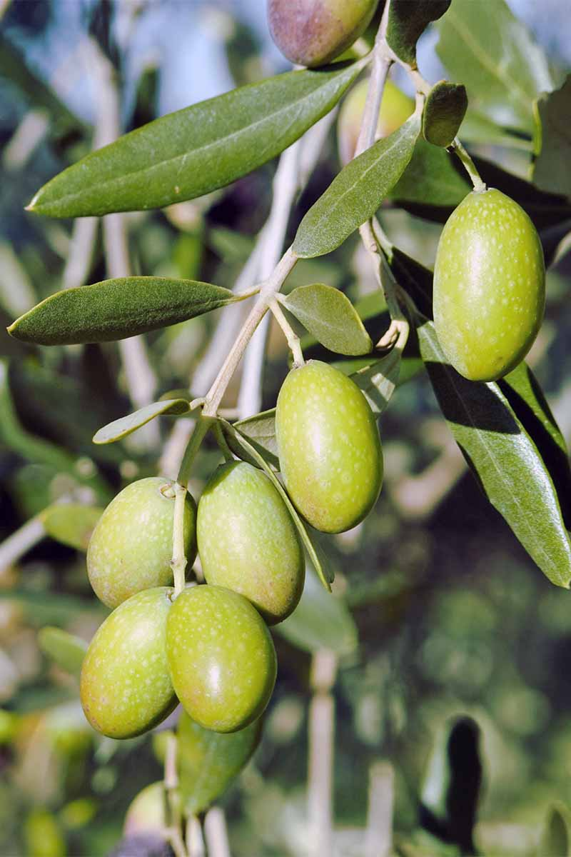 Oblong light green olives growing on a tree branch with narrow green leaves.