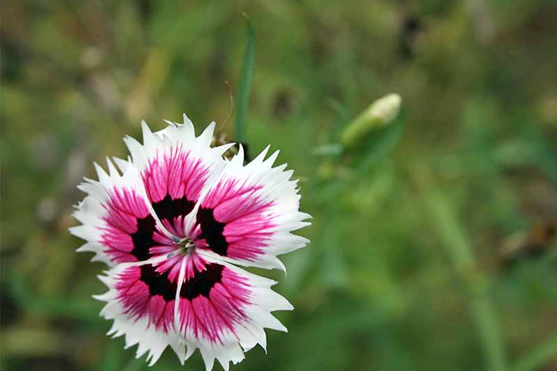 Pink and white dianthus flower with a black center and petals with serrated edges, on a green background of foliage in shallow focus.