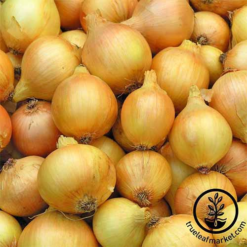 "A pile of cured ""Utah Yellow Sweet Spanish' onions."