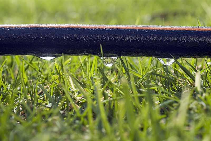 Closeup of a black soaker hose on a green lawn, with several droplets of water on the bottom side.