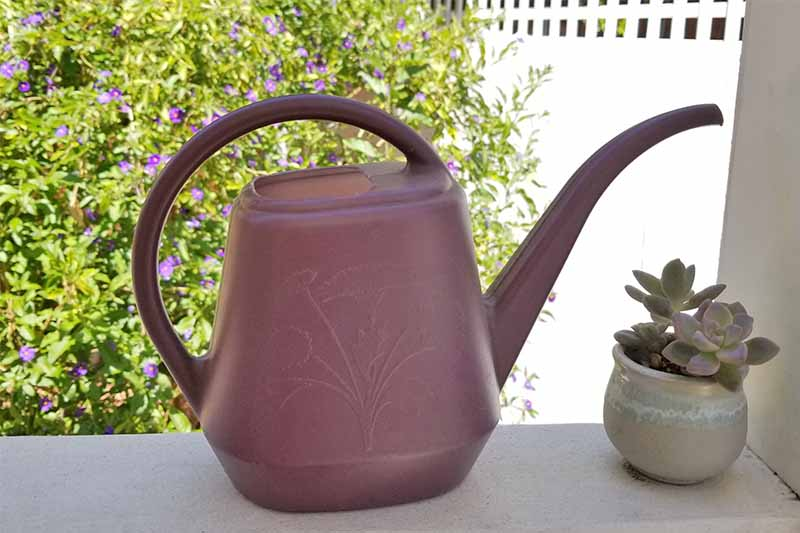 A purple watering can on a white deck railing beside a small potted succulent, with a purple flowering potato plant growing along a white fence in the background.