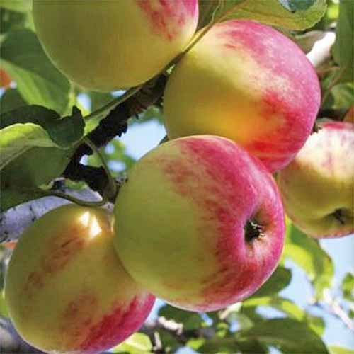 Yellow 'Wealthy' apples with a pink blush, growing on a branch with green leaves.