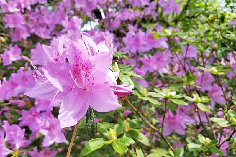 Pink rhododendron blossms on a plant with green leaves.