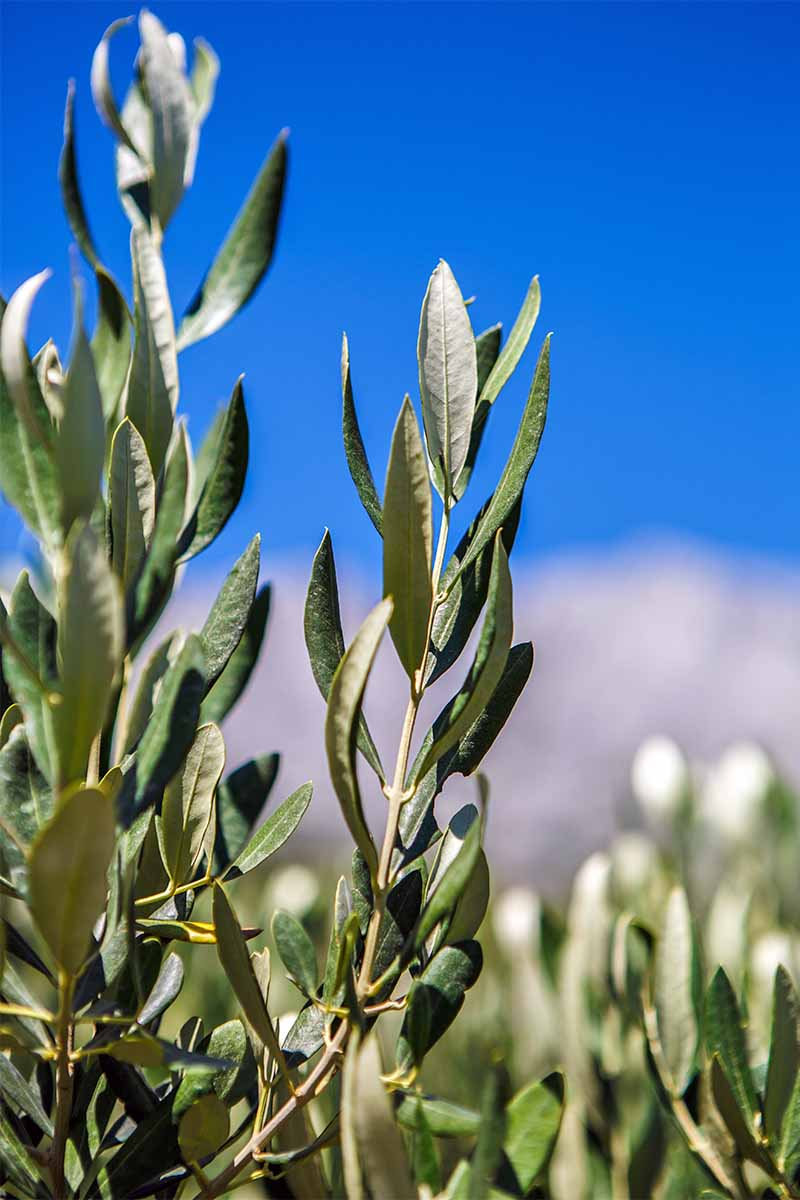 Olive branches with narrow gray-green leaves, growing in bright sunshine with a vibrant blue sky with a layer of white clouds in the background.