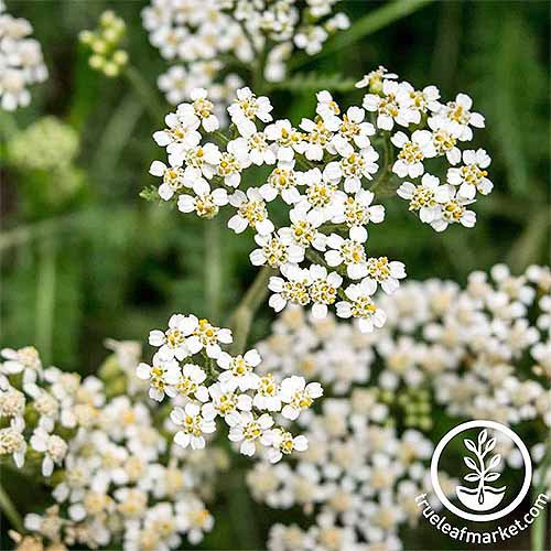 Square image of white Achillea flowers, with green feathery foliage in soft focus in the background.