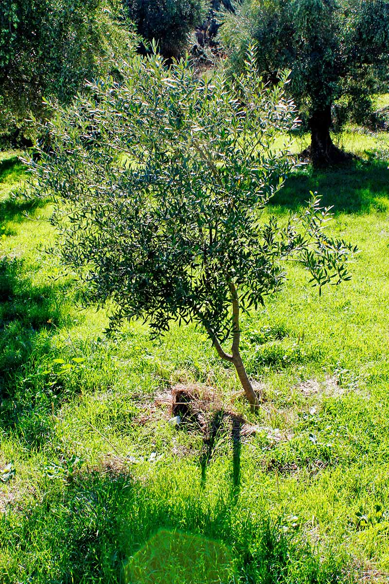 A young olive sapling growing in a green lawn.