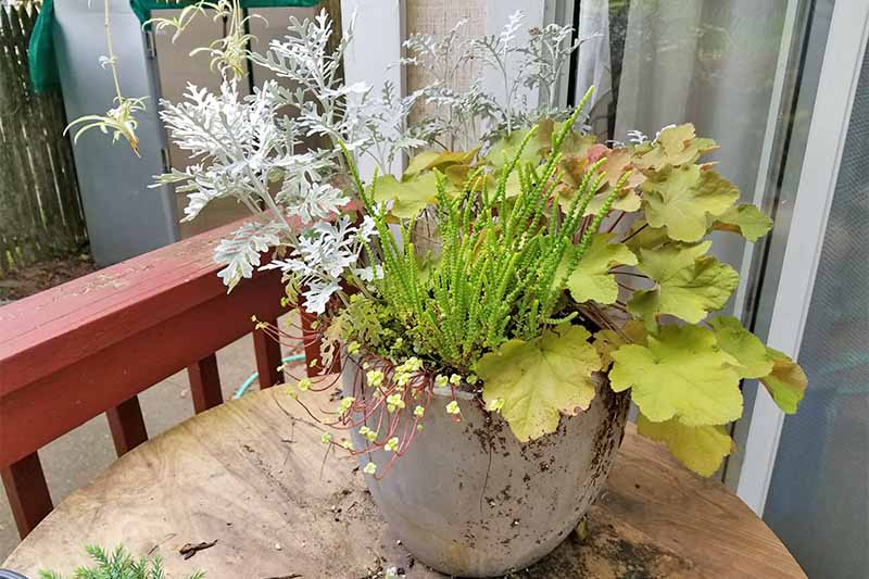 Silver ragwort in a large planter with lime green heuchera, and other plants, on a brown wood table beside a red railing.