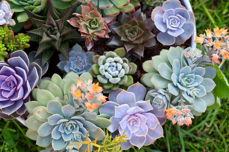 Top down view of a collection of various multicolored succulent plants.