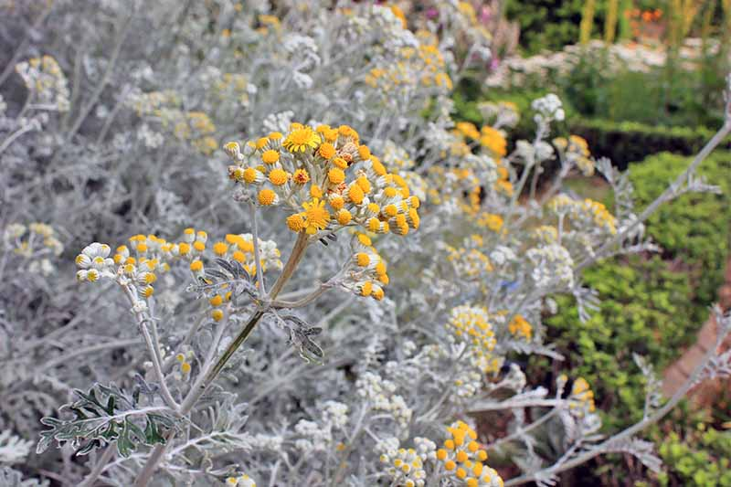 Silver-colored Jacobaea maritima with clusters of small yellow flowers.