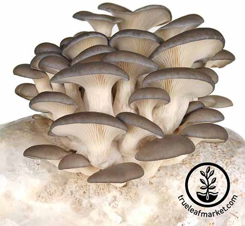 Gray oyster mushrooms grow from a white substrate, isolated on a white background.