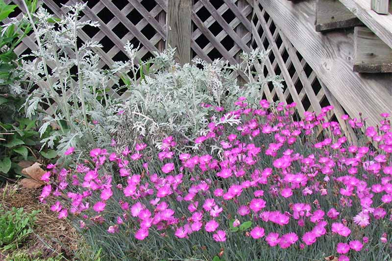 Silvery Jacobaea maritima grows tall in the background of a bed of pink dianthus, in front of wooden decking.