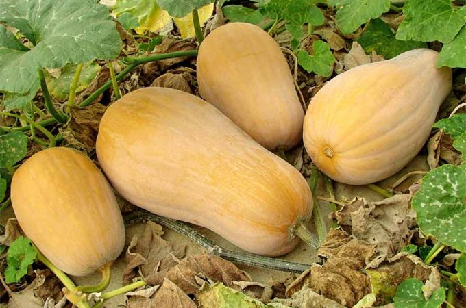 Four butternut squash growing on a green vine with large green leaves, on a bed of dried brown leaves.