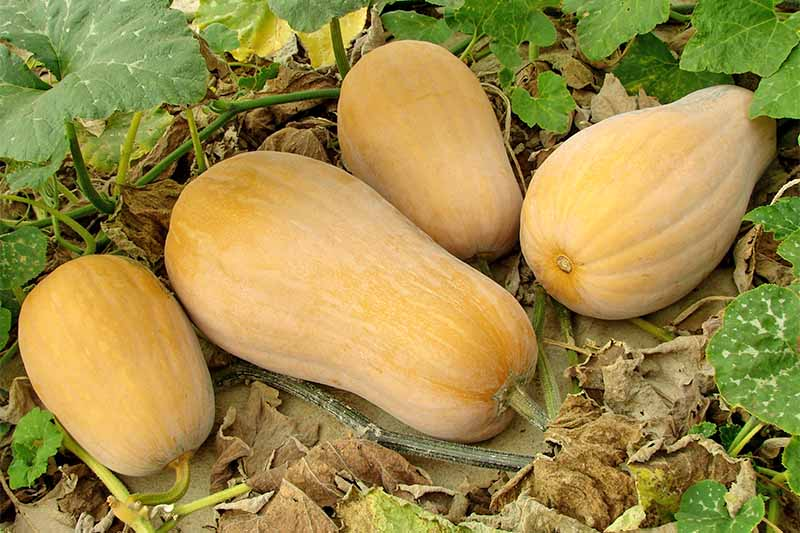 Mature butternut squash looks like