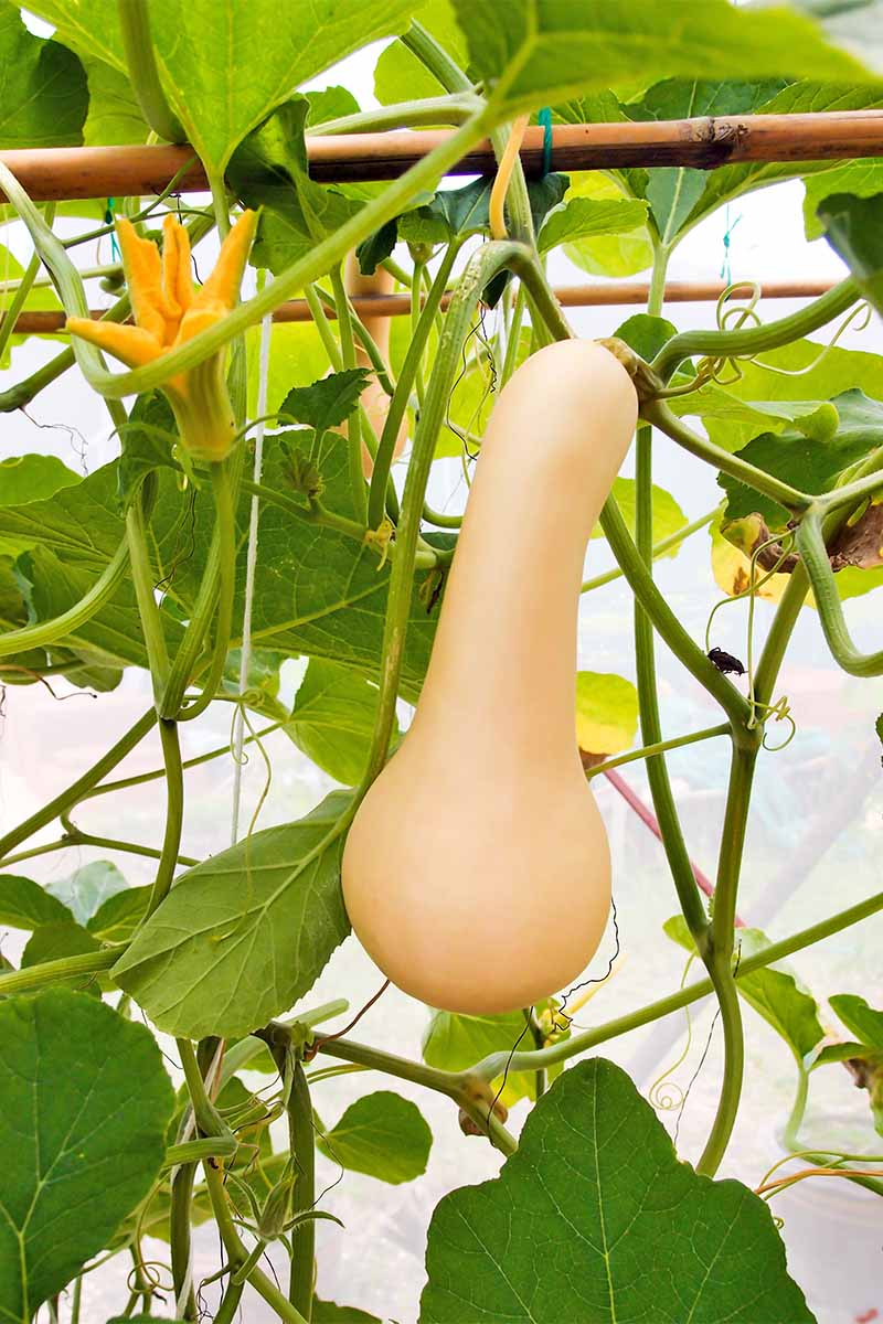 A long, narrow, peach-colored butternut squash hanging from a suspended green vine with orange flowers and broad green leaves.