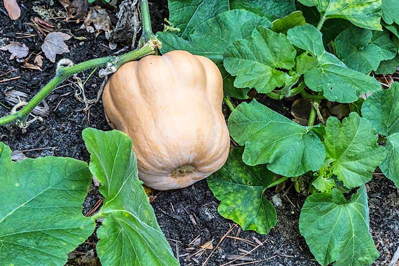 A pale orange winter squash growing on a green vine with large green leaves, planted in dark brown soil in the garden.