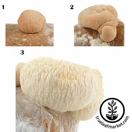 Three labeled phases of lion's mane mushroom growth, isolated on a white background.