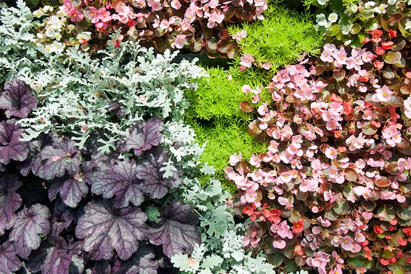 Silvery green dusty miller grows in a garden bed with purple heuchera, pink and white wax begonia, and other plants.