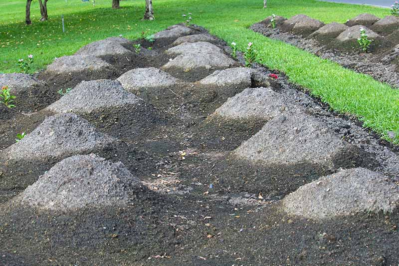 Mounds in dark brown soil where winter squash seeds have been planted, in two garden beds bordered by green lawn.