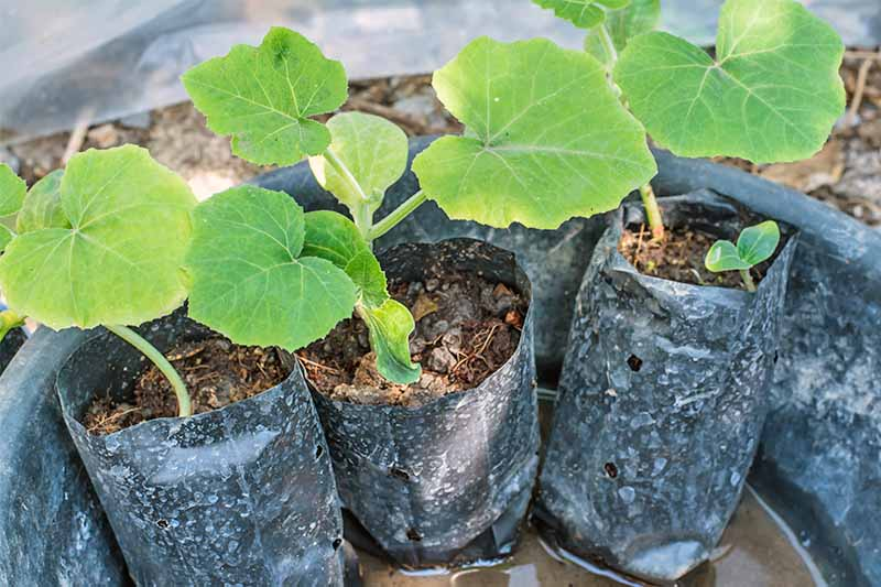Young winter squash seedlings in plastic cups filled with potting soil.