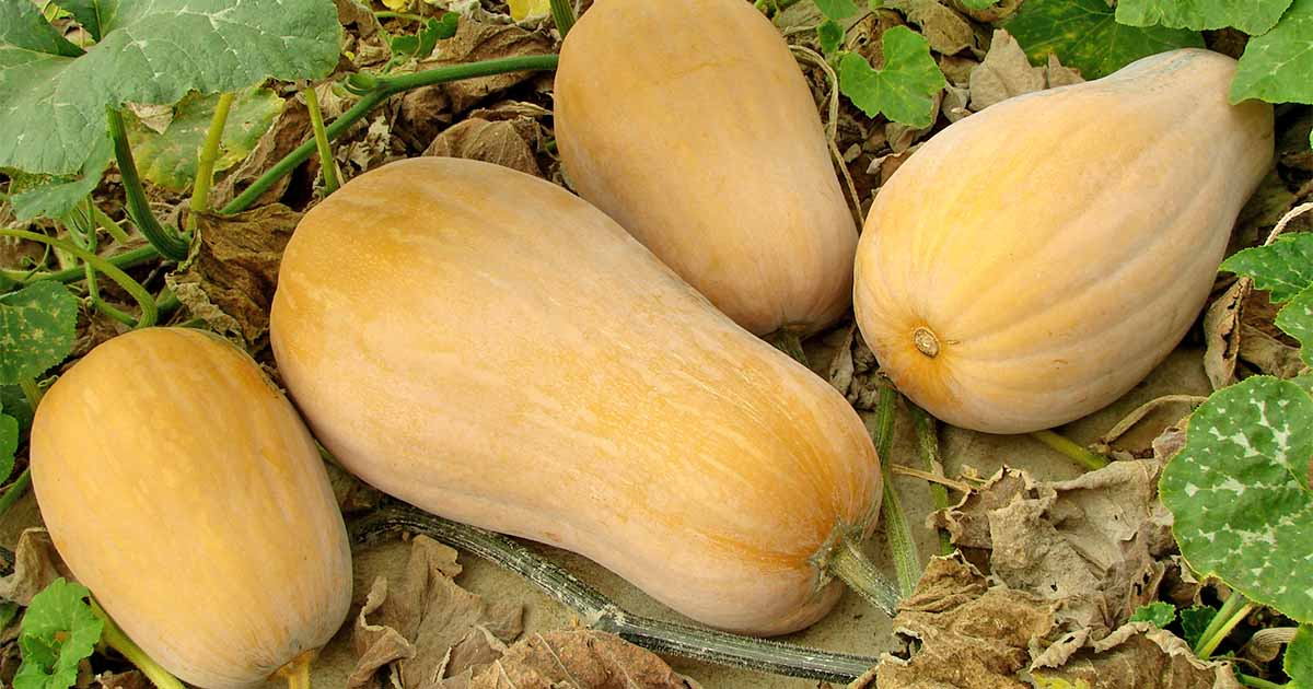 The Complete Guide To Growing Winter Squash Gardener S Path