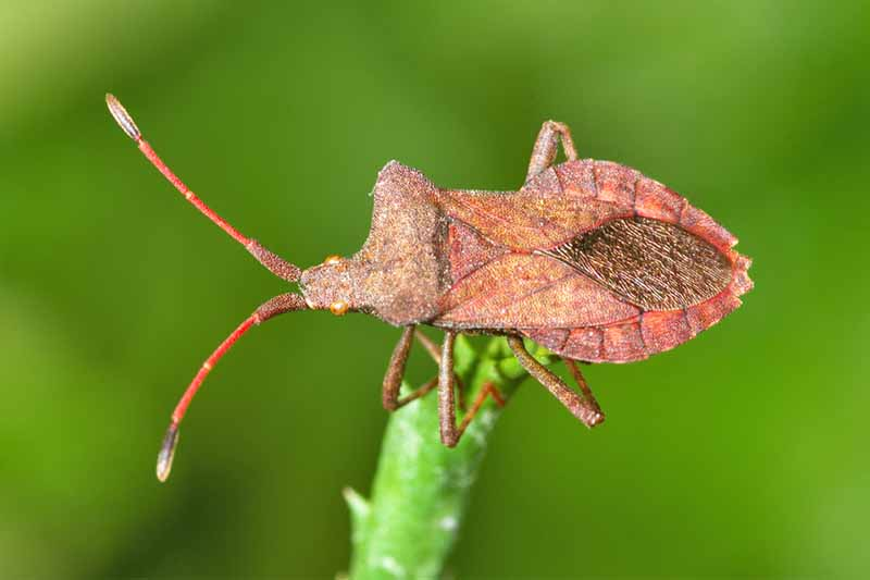 A reddish brown squash bug on the green stem of a plant, on a green background.