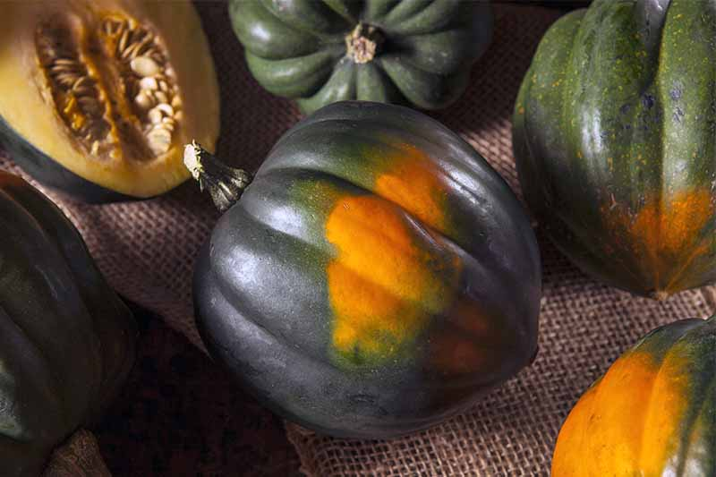 Orange and dark green acorn squash on a burlap surface.