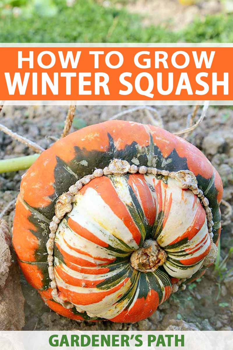 A lumpy orange, green, and white turban squash growing on a green vine on brown soil, with grass in the background, and orange, white, and green text.