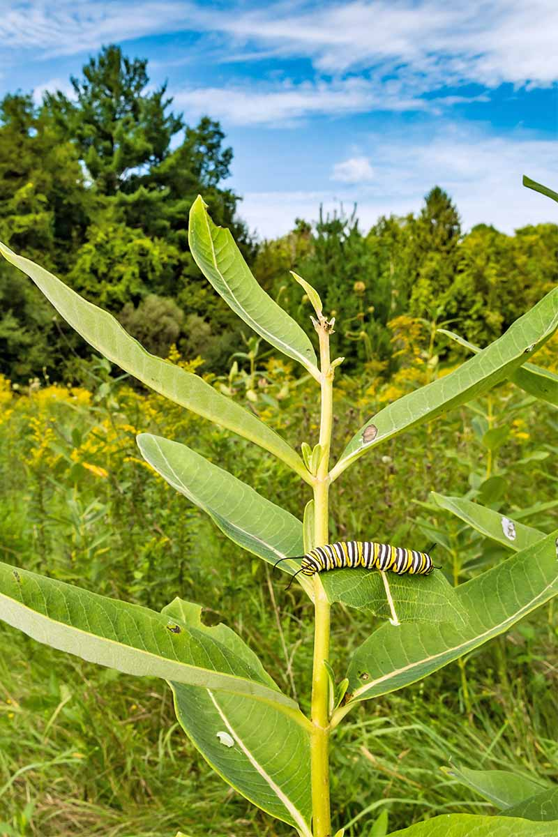 A green stalk of milkweed with narrow green leaves and a monarch butterfly caterpillar feeding on the plant, with a meadow, trees, and blue sky in the background.
