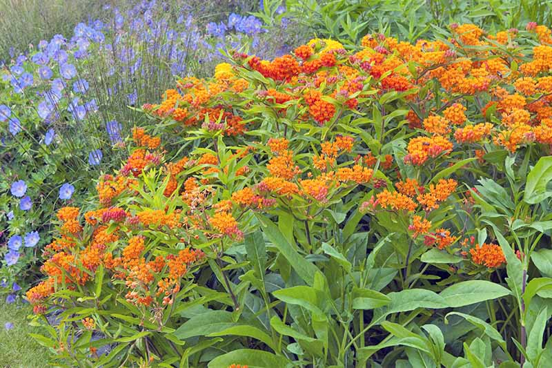 Orange asclepias blooming in a garden bed, with blue flowers in the background.