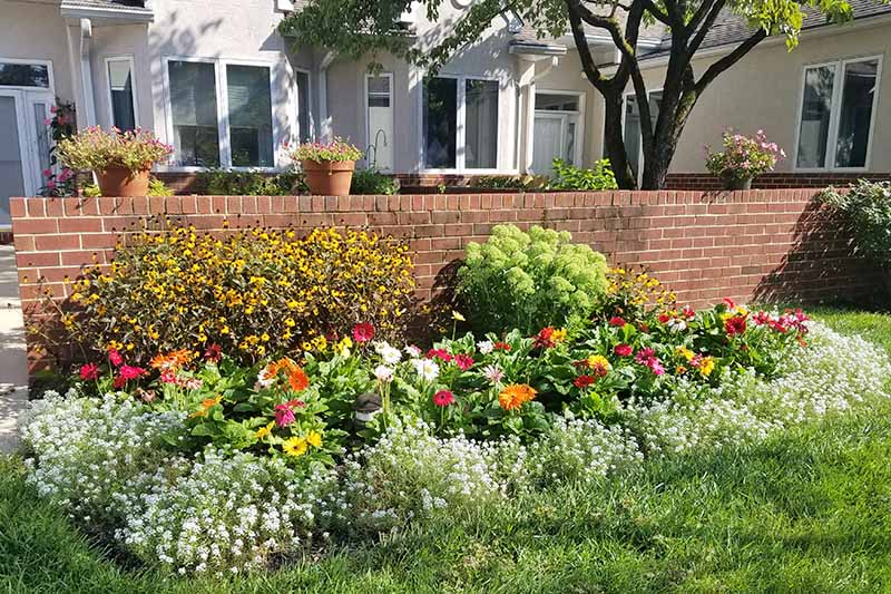 A garden border in front of a white house of white sweet alyssum, colorful daisies, black-eyed susans, and other flowers, growing in front of a brick wall planted with more potted plants, with a tree in the mid-ground, and a green lawn in the foreground.