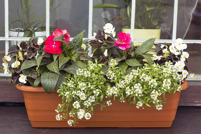 White begonia and sweet alyssum and a pink flower with dark green leaves growing in a terra cotta window box, with a window in the background, with potted houseplants visible on the other side.