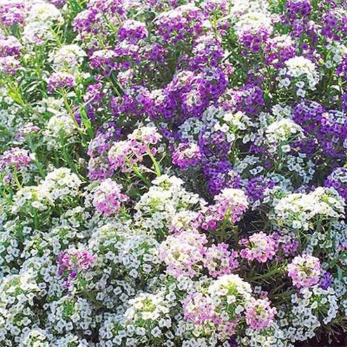 Purple and white 'Magic Circle' sweet alyssum mix.