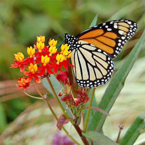 Red and yellow Asclepias curassavica with an orange and black Monarch butterfly, on a plant with narrow green leaves, on a mottled green and brown background in soft focus.