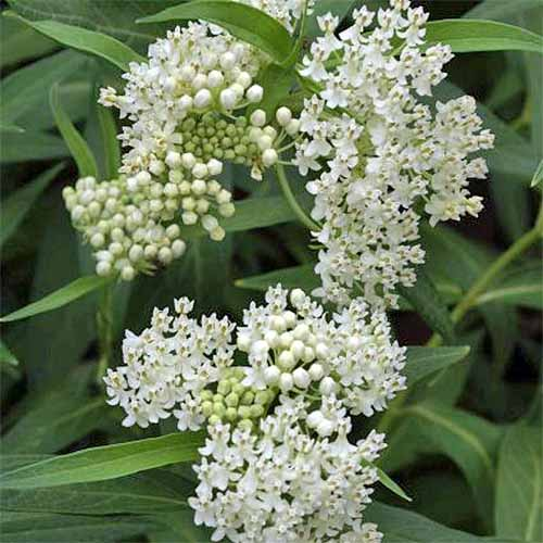 White blooming Asclepias 'Ice Ballet' with green narrow leaves.