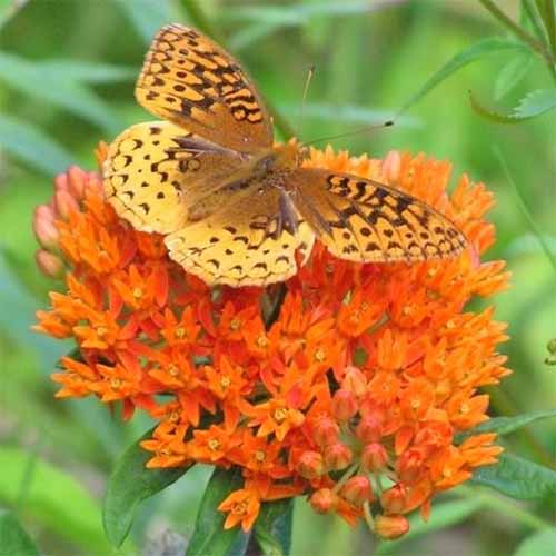 A cluster of orange Asclepias tuberosa flowers, with an orange and brown butterfly perched on top, with green foliage in shallow focus in the background.