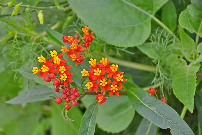 Bright red Asclepias flowers with yellow centers, on a plant with green stems and long, narrow, green leaves.