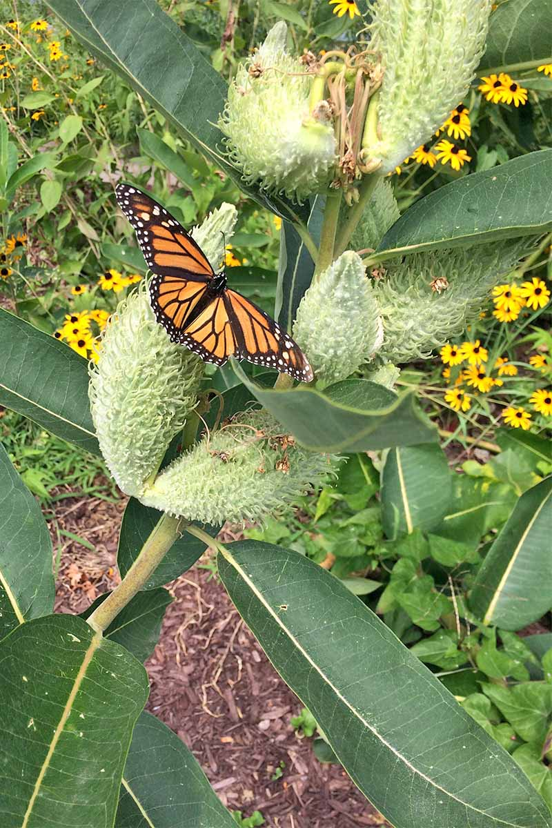 An orange and black Monarch butterfly on a milkweed plant, with green leaves and fuzzy light green seed pods, with yellow black eyed-susans in the background.