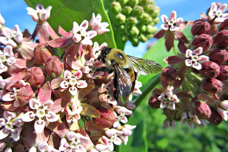 A bee pollinates white and rose-colored milkweed flowers growing in a cluster on a plant with green buds and leaves.