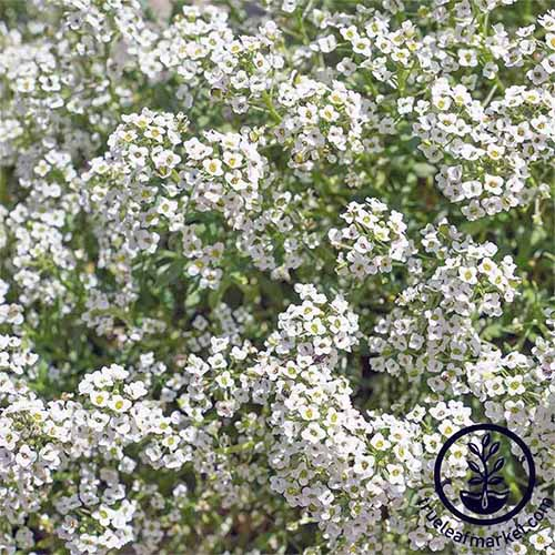 White 'Carpet of Snow' alyssum blooms fill the frame.