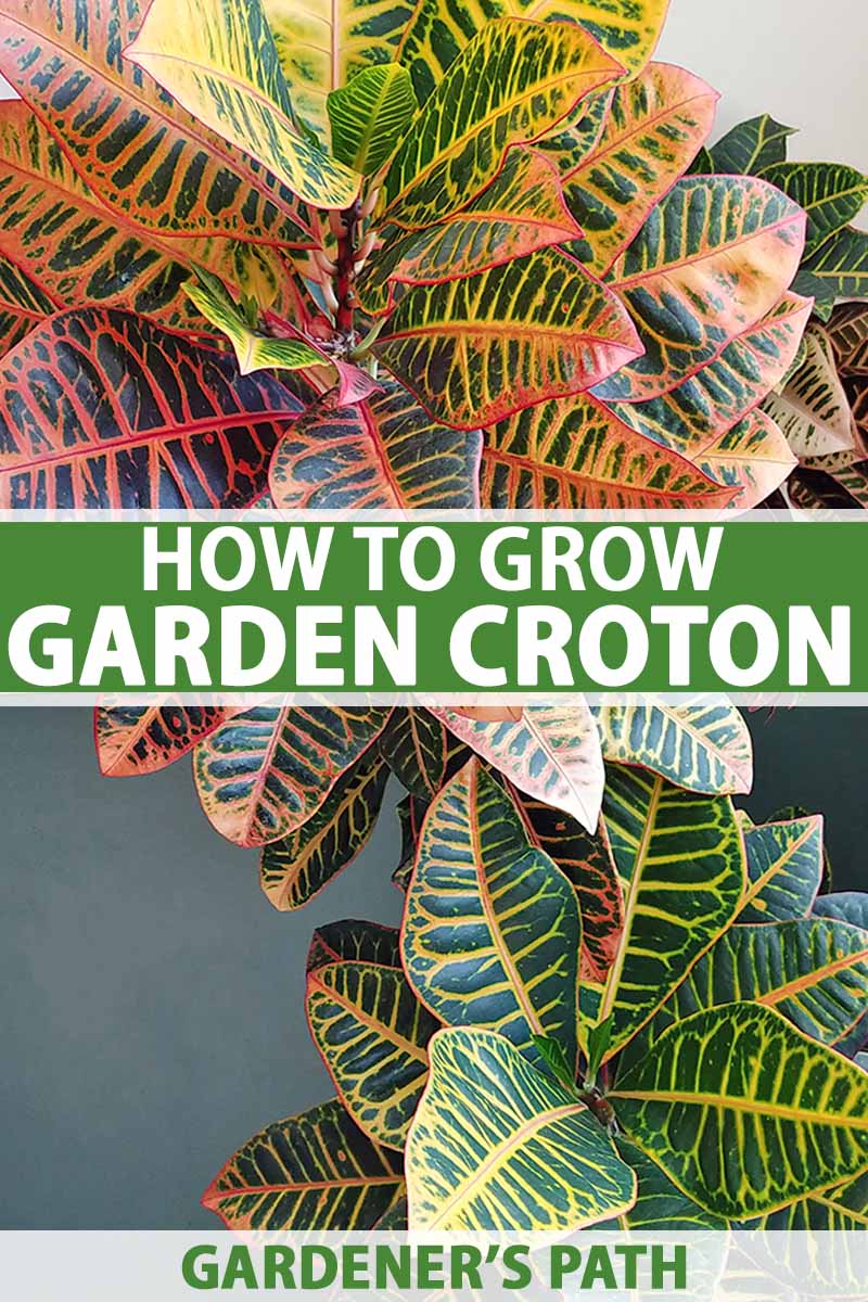 How To Cultivate Croton Plants Indoors Gardener S Path