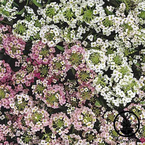 Pink and white 'Easter Bonnet' alyssum flowers.