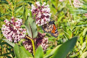 Why You Need Milkweed: A Guide to Growing Asclepias