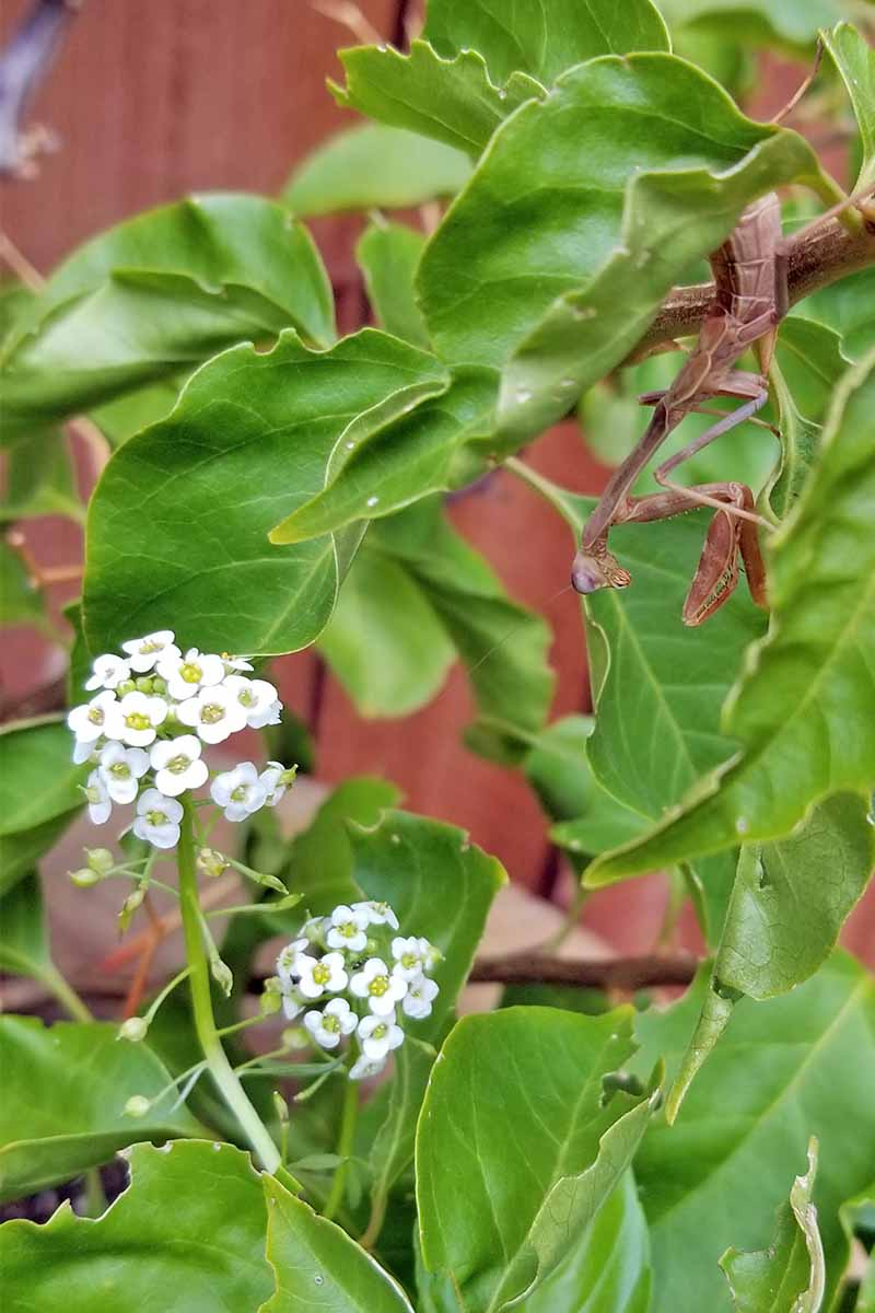 Closeup of a brown praying mantis and two clusters of white alyssum flowers, with green bougainvillea leaves, and a brown fence in the background.