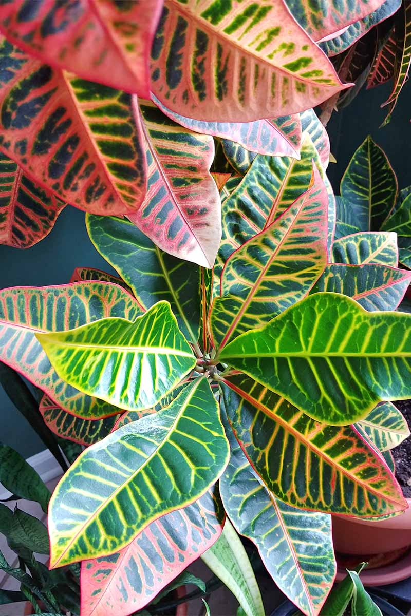 Closeup top-down vertical image of the variegated and colorful leaves of a garden croton.