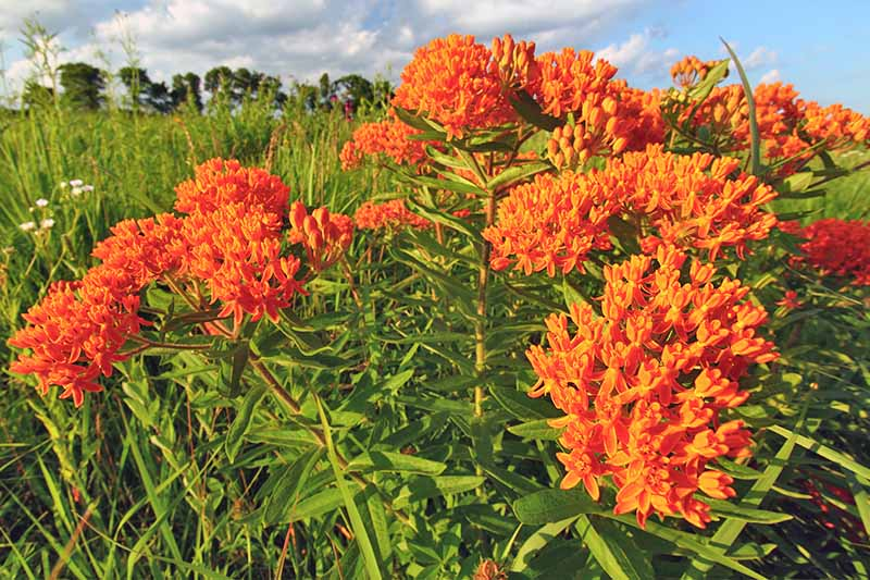 Bright orange asclepias flowers growing on tall stems with narrow green leaves in a field, with blue sky and fluffy clouds in the background.