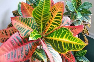 The Best Tips for Cultivating Showy Garden Croton Indoors