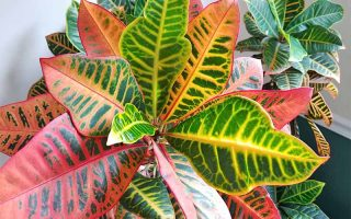 Two portions of a croton plant, one close to the camera and the other further away, with more vibrantly colored leaves on the closer portion, in a green and white painted room.