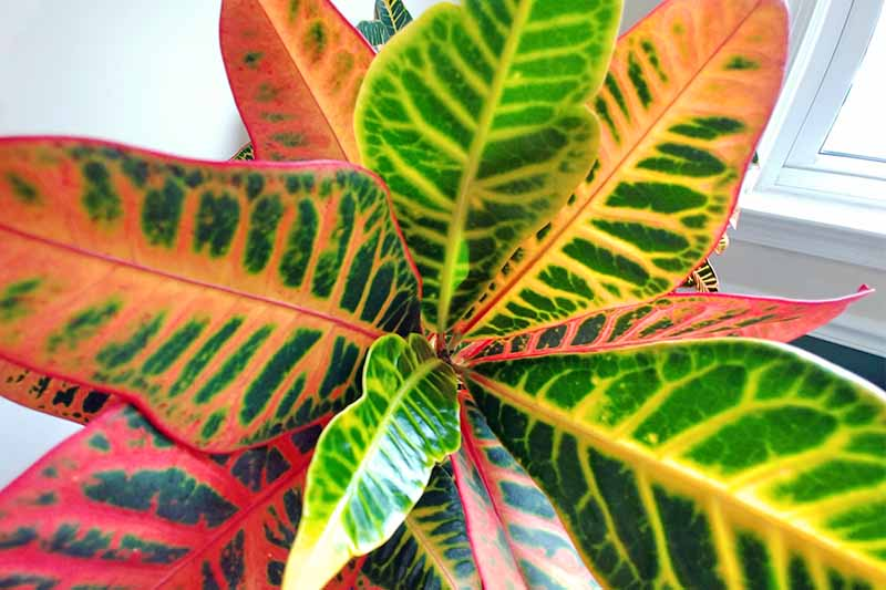 Closeup of variegated green and yellow, orange and green, or red and green alternating leaves of a croton plant, with a white wall and window in the background.