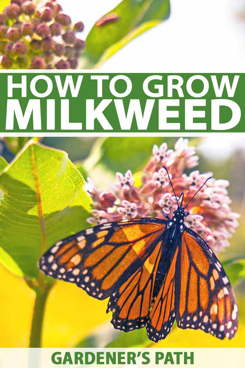 Getting My What Do Giant Milkweed Seeds Look Like To Work